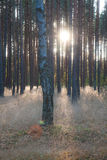 Game of light. An interesting game of light and shadows in a pine forest Royalty Free Stock Photography