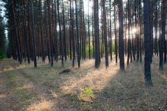 Game of light. An interesting game of light and shadows in a pine forest Royalty Free Stock Photo