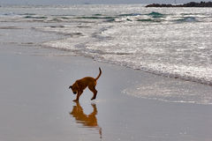 Game with a shadow. Puppy playing with his own shadow on a wet beach royalty free stock images