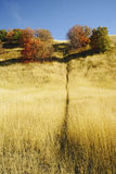 Game Trail in Golden Grass in Autumn. A game trail on hillside with glowing golden grasses revealing oak bushes in full autumn color Royalty Free Stock Photo