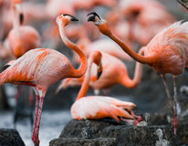 Game two adults of the Caribbean flamingo. Cuba. Reserve Rio Maximа. Stock Image