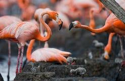 Game two adults of the Caribbean flamingo. Cuba. Reserve Rio Maximа. Stock Photos