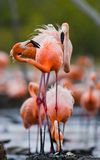 Game two adults of the Caribbean flamingo. Cuba. Reserve Rio Maximа. Royalty Free Stock Photo
