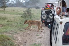 Game viewing vehicle in the savanna Stock Photo