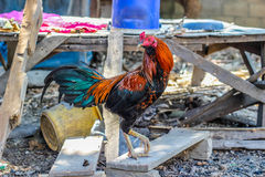 gamecock Royalty-vrije Stock Foto's