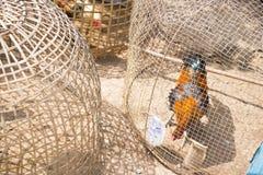 Gamecocks в курятнике Стоковая Фотография