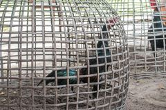 gamecocks Стоковая Фотография