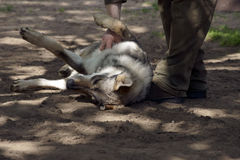 Gamekeeper fondles Wolf. A gamekeeper fondles a young wolf lying on his back in the sand royalty free stock photo