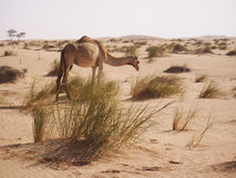 Gamel in Sahara desert Royalty Free Stock Photo