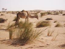 Gamel w saharze Zdjęcie Royalty Free