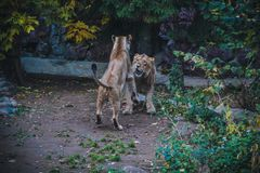 Lion and Lioness Games royalty free stock photography