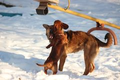Games of two brown dogs in the winter in the yard. Dachshund and mongrel run and heap each other stock image