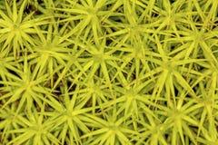 Gametofiti del muschio del cappuccio dei capelli da nuova Londra, New Hampshire Fotografie Stock
