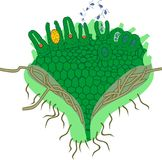 Gametophyte av den Clubmoss eller Lycopodiumclavatumen med antheridiumen och archegoniumen Fotografering för Bildbyråer