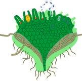 Gametophyte del clavatum de Clubmoss o del Lycopodium con el anteridio y el archegonium Imagen de archivo