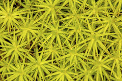Gametophytes do musgo do tampão do cabelo de Londres nova, New Hampshire Fotos de Stock