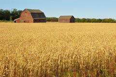 Gamla övergav ladugårdar i ett fält av moget vete Arkivbilder