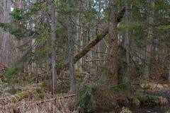 Gamla alträd bland granar i vinter Royaltyfria Bilder