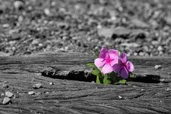 Gamla använda järnvägsspår i duotone och liten blomma i färg ar Royaltyfri Fotografi
