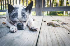 Gamla Boston Terrier Arkivbild