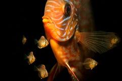 17 gamla dagar behandla som ett barn den diskusfiskSymphysodon aequifasciatusen med föräldrar Fotografering för Bildbyråer