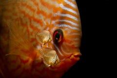 17 gamla dagar behandla som ett barn den diskusfiskSymphysodon aequifasciatusen med föräldrar Arkivfoto