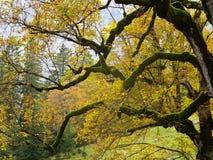 Gamla det vridna lönnträdet förgrena sig med guld- sidor Arkivbilder