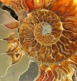 Gamla förstenade fossil Arkivfoton
