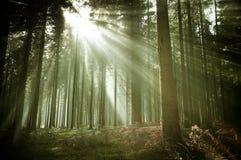 Gamla Forest Woodland med solstrålar royaltyfria bilder