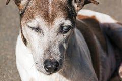 Gamla fullblods- Jack Russell med starrar i ögon Arkivfoton