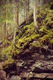 Gamla granar som växer på de steniga lutningarna Royaltyfri Fotografi