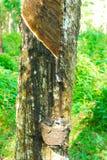 Gamla gummiträd, gummi och gummin, rubber knackning Royaltyfri Foto