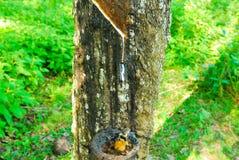 Gamla gummiträd, gummi och gummin, rubber knackning Arkivbild