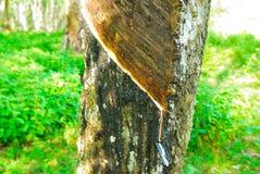 Gamla gummiträd, gummi och gummin, rubber knackning Fotografering för Bildbyråer