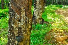 Gamla gummiträd, gummi och gummin, rubber knackning Royaltyfria Bilder
