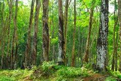 Gamla gummiträd, gummi och gummin, rubber knackning Arkivbilder