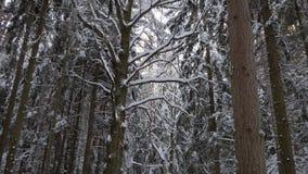 Gamla högväxta träd med krokigt böjde filialer som täcktes med det tjocka lagret av snö lager videofilmer