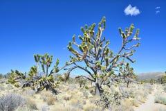 Gamla joshua träd, endemiskart på den nationella sylten för Mojave royaltyfria bilder