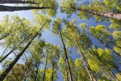 Gamla käringar av träd i vår Royaltyfri Bild