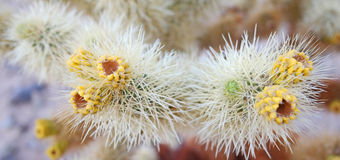 Gamla knoppar för Cholla kaktus - panorama Arkivbild