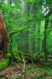 Gamla monumentala ekar i skog Royaltyfri Fotografi