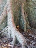 Gamla Morton Bay Fig Tree, detalj av grunden och rotar systemet Royaltyfri Bild
