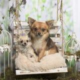 Gamla och unga chihuahuas på en kudde Fotografering för Bildbyråer