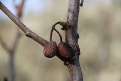 Gamla oliv Arkivbild