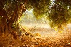 Gamla Olive Tree Arkivfoton