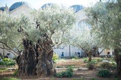 Gamla olivträd i den Gethsemane trädgården royaltyfri foto