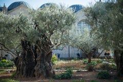 Gamla olivträd i den Gethsemane trädgården arkivfoton