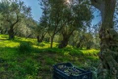Gamla olivträd i en olivgrön dunge i Delphi i Grekland royaltyfria foton