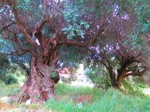 Gamla olivträd i Lefkada Royaltyfri Bild