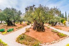 Gamla olivträd i trädgården av Gethsemane royaltyfri bild